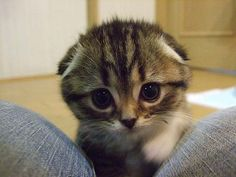 Fact. Scottish Folds are the cutest cats in the world.