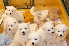Samoyed puppies are the most adorable snowballs imaginable. (They are also VERY energetic and can be destructive if you don't keep up with them :-)