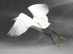 Flight Snowy Egret Bird Art Print Fine Art by susieloucks on Etsy, $25.00