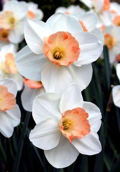 Old House Gardens Amazing Flowers, Fresh Flowers, Spring Flowers, Beautiful Flowers, Exotic Flowers, Purple Flowers, Spring Flowering Bulbs, Spring Bulbs, Daffodil Bulbs