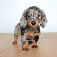 """Receive wonderful tips on """"dachshund puppies"""". They are actually available for you on our site. Dapple Dachshund Puppy, Dachshund Funny, Dachshund Love, Daschund, Cute Little Animals, Cute Funny Animals, Baby Animals Pictures, Animals And Pets, Weenie Dogs"""