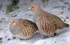 Grey Partridge (Perdix perdix), Серая куропатка Grey Partridge, Draw On Photos, Wild Birds, Birds 2, Forest Animals, Christmas Holidays, Photo Art, Cute Animals, Hunting