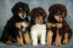 Cantope Standard Poodles in Canada. Solids and partis, natural tails and dews.
