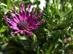 An_african_daisy_in_my_patio_garden.jpg (1280×960)