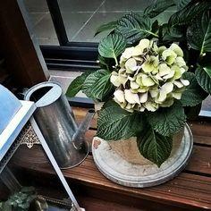 Kauneus on katoavaista. Tai ainakin väri. Kaunis #liila sävy kukissa on muisto vain #hortensia #kesäkukat #muistot Instagram Posts, Plants, Plant, Planets