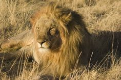 Simbabwe geführte Rundreisen - Löwe