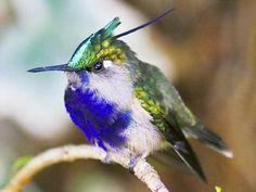 Exotic Hummingbird Pictures: Plovercrest