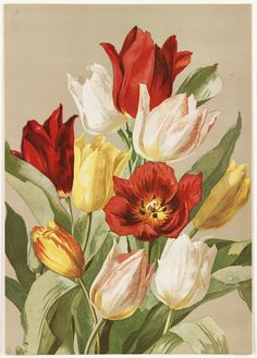 Tulips | by Boston Public Library