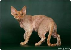 Devon Rex, i LOVE them and i don't know why!!