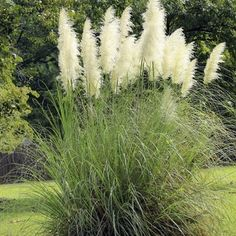 1000 images about buy ornamental grasses on pinterest for Ornamental grasses with plumes