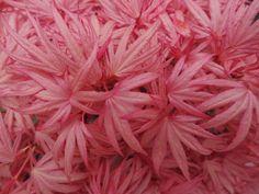 Acer palmatum 'Pinkie'
