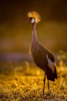 "funkysafari: ""A backlit crowned crane. South Luangwa, Zambia. By Burrard Lucas """