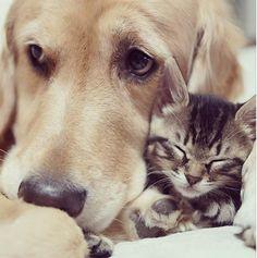Já falamos aqui no Tudo Sobre Cachorros sobre a cachorrinha que achava que era um gato. Agora a gente trás pra vocÊs a história de Ichimi, um filhote de gato que foi rejeitado pela sua mãe e adotado por Ponzu, um Golden Retriever lindo e carinhoso que criou o gatinho desde filhote.