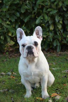 Gosth, a French Bulldog, on http://www.yummypets.com/ Bulldog francés