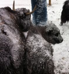 staying warm in snowy weather yaks snow