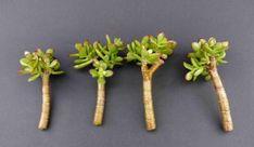 Obrazek Bonsai Plants, House Plants, Asparagus, Herbs, Gardening, Vegetables, Vases, Garden, Flowers