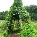 How To Build A Garden Trellis Obelisk Project » The Homestead Survival