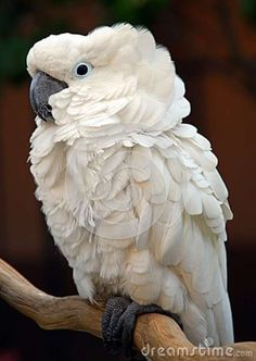 Moluccan Cockatoo | White Moluccan Cockatoo Parrot Bird Royalty Free Stock Photo - Image ...