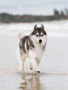 More On Siberian Husky Funny Wolves Akita, Beautiful Dogs, Animals Beautiful, Cute Animals, Cute Puppies, Cute Dogs, Dogs And Puppies, Doggies, Wolf Husky