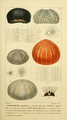 1834 | Manuel d'actinologie ou de zoophytologie | Sea Urchins