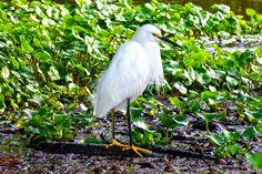 Seidenreiher halten sich in feuchten Gebieten auf. So auch im Tortuguero Nationalpark in Costa Rica.