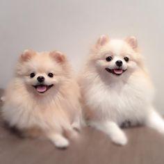 Double SmileBeHappy Max & Agnes. . #pomeranian #pomeranians #spitz #spitzalemao #sp #boanoite #smilebehappy #smile #happy #br #brasil