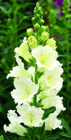 Buy Snapdragon Seeds from Swallowtail Garden Seeds. Fragrant, reliable snapdragons for cut flowers. Dwarf snapdragons for borders, or containers. Flowers attract hummingbirds and bumblebees. Showy color for spring and fall. Amazing Flowers, My Flower, White Flowers, Beautiful Flowers, Beautiful Gorgeous, Spring Flowers, Moon Garden, Annual Flowers, White Gardens