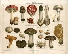 """1887 MUSHROOMS FUNGI Antique Chromolithograph Print.  Original old German color chromolithograph print/double page book plate. This is an authentic antique (not a modern reproduction) beautiful print comes from a German lexicon.  Very decorative.  Looks great when framed.  Printed by Bibliographisches Institute Leipzig, Germany, 1887.  The overall size of this print with margins approx 12"""" x 10"""" inches."""