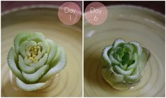 Can't wait to try this...17 Apart: Growing Celery Indoors: Never Buy Celery Again