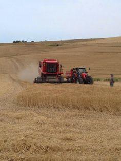 23 maggio 2014 - Mietitrebbiatura del grano duro iniziata in Sicilia via @granduro cc @macchineagri #macgest