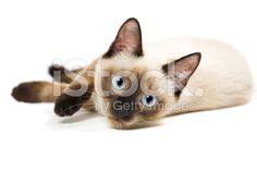 Siamese cat - Stock image