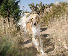 Saluki. These dogs are so cool!