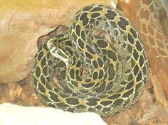Mexican-Lancehead-Rattlesnake