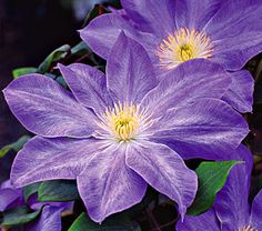 Clematis- we now have 5 clematis.  Who said Clematis are addicting? :) Our 3 new plants are rebloomers that can handle some shade.  I can't wait until they bloom.