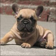 De Franse bulldog. I am going to have one.