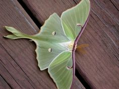 I've always wanted a tattoo of a Luna Moth (if I ever get a tattoo!)