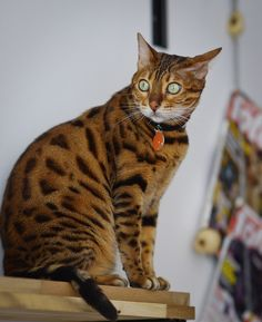 bengal cat, hoping to get one of these soon