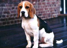 Happy Beagle's Day! Haha  (For those who don't know, in France the beagle's day is celebrated every June on the 12th.)