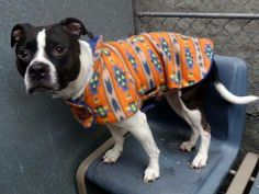 GONE --- TO BE DESTROYED - 03/08/14  Manhattan Center    My name is DIESEL. My Animal ID # is A0879906.  I am a neutered male black and white pit bull mix. The shelter thinks I am about 4 YEARS old.   I came in the shelter as a OWNER SUR on 02/28/2014 from NY 10030, owner surrender reason stated was MOVE2PRIVA.    MAIN THREAD: https://www.facebook.com/photo.php?fbid=768420503170831&set=a.611290788883804.1073741851.152876678058553&type=3&permPage=1