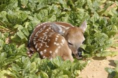 Cute factor: Fawns are cute to begin with, but when they get those lil white spots...oh man, then they just take adorable to the next level.