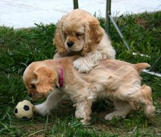 Cocker Spaniel Puppies - 37 Pictures
