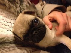 Percy with me. PUG!