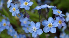 Das Vergissmeinnicht hat kleine, himmelblaue Blüten mit einem gelben Schlund. (Quelle: dpa)