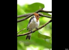 A red-crested cardinal hatchling rests on a tree branch at an aviary in Singapore's Jurong Bird Park on September 20, 2011. (ROSLAN RAHMAN/AFP/Getty Images)
