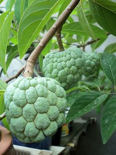 Sugar-apple is the fruit of Annona squamosa, the most widely grown species of Annona and a native of the tropical Americas and West Indies.