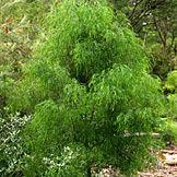 Acacia cognata emerald isle