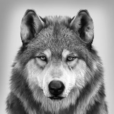 Wolf Portrait (different angle), Massimo Righi ArtStation – Wolf Portrait (different angle), Massimo Righi Wolf Photos, Wolf Pictures, Beautiful Wolves, Animals Beautiful, Interesting Facts About Wolves, Wolf Photography, Wolf Artwork, Wolf Spirit Animal, Wolf Tattoo Design