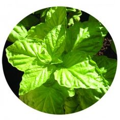Basil - Lettuce Leaf    HB108  1 Review(s) | Add Your Review    Huge 3-5-inch leaves; Japanese basil with a great flavor.     Contains 100 heirloom seeds     $1.75