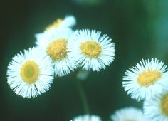 Rough Fleabane (Daisy Fleabane, White-tops) not a weed! They are sweet and delicate