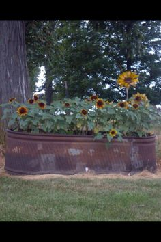 Sunflowers in an old trough.
